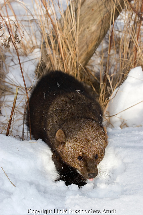 Fisher (Martes pennanti) walking in the snow.  Minnesota.