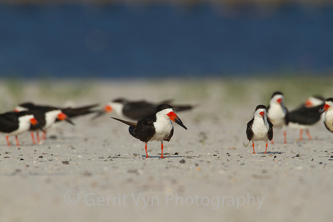 Group of adult Black Skimmers (Rynchops niger) on beach. Harrison County, Mississippi. July.