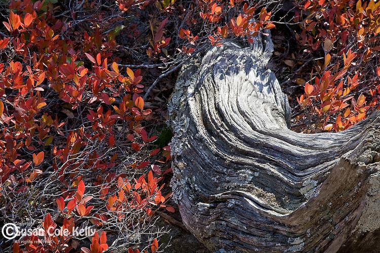 Autumn huckleberries on Champlain Mountain, Acadia National Park, ME
