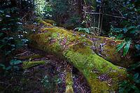 A fallen tree, now a moss-covered log, becomes a work of art along a hiking trail in the rainforest above Waimea Canyon, Kauai.