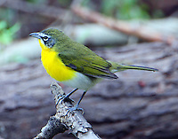 Adult male yellow-breasted chat