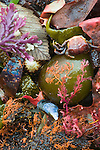 Crab and seaweed, San Juan Islands, Washington
