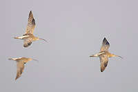 Eurasian Curlew (Numenius arquata) in flight. Myanmar. January.