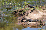 Brazoria County, Damon, Texas; a pair of two foot long baby alligators sunning themselves for warmth on the bank of the slough in morning light