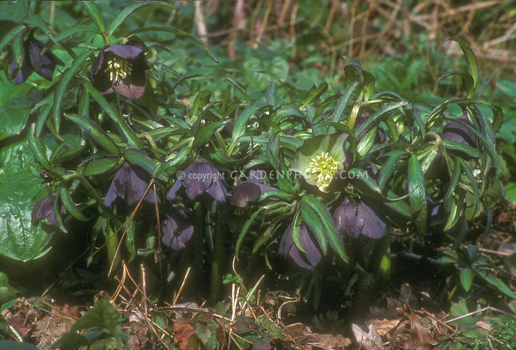 Helleborus torquatus GR20406 with very dark purple nearly black flowers