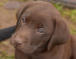 Close up of a chocolate Labrador retriever puppy.