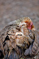 Hen chicken with chicks. Wild. Koke'e State Park. Waimea Canyon, Kauai, Hawaii