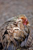 Hen chicken with chicks. Wild. Koke'e State Park. Waimea Canyon, Kauai, Hawaii