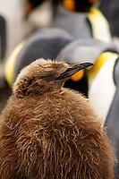 King Penguin chick on Macquarie Island, Antarctica