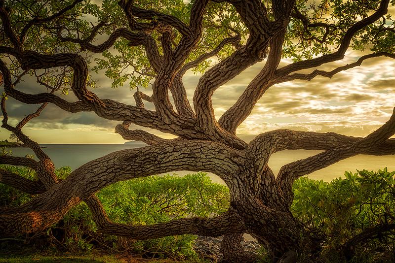 Wildley branching tree. Maui, Hawaii.