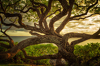 Wildley branching tree. Maui, Hawaii.