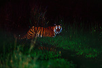 The night eyes of a Bengal tiger burn bright, fueling the visions that legends are made of.