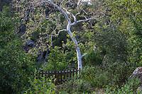 Platanus racemosa, California sycamore, California plane, and Aliso California native tree with white bark, Santa Barbara Botanic Garden