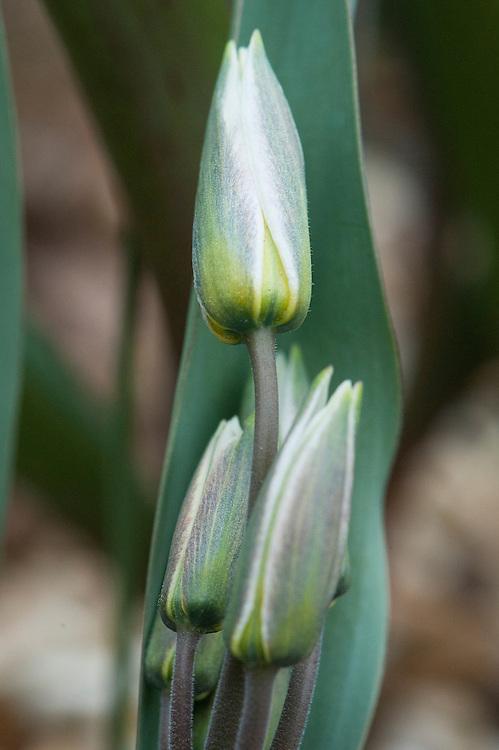 Turkestan tulip (Tulipa turkestanica), mid March.