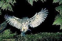 OW08-007z   Saw-whet owl - flying to catch prey mouse- Aegolius acadicus