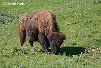 0621-1002  American Bison (American Buffalo), Bison bison  © David Kuhn/Dwight Kuhn Photography