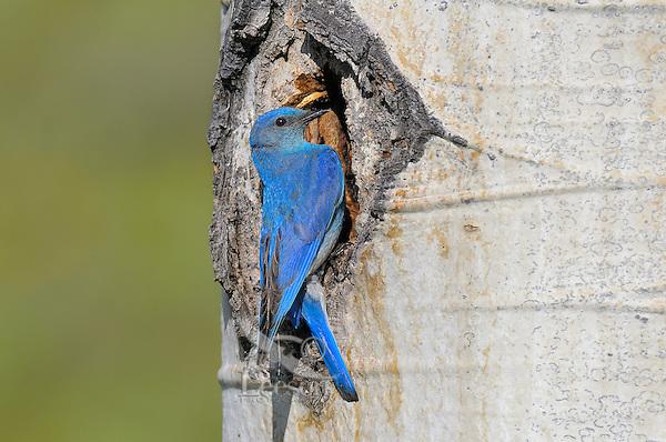 Male Mountain Bluebird (Sialia currucoides) at nest cavity in aspen tree.  Western U.S., June.
