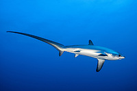pelagic thresher shark, Alopias pelagicus, visiting a cleaning station in The Brothers, Brother Islands, aka Al Akhawein, Egypt, Red Sea, Indian Ocean