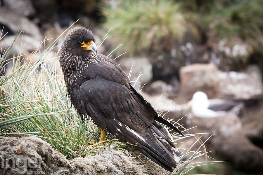 Striated Caracara at the Black-browed Albatross colony on West Island, the Falkland Islands