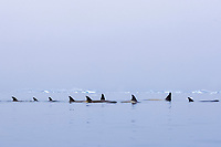 killer whales , orca , Orcinus orca, pod traveling in waters off the western Antarctic Peninsula, Antarctica, Southern Ocean