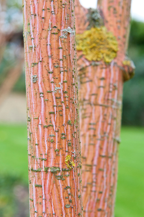 The bright pink-orange bark of the Phoenix maple (Acer conspicuum 'Phoenix'), mid October.