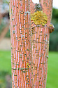The bright pink-orange bark of the Phoenix maple (Acer conspicuum 'Phoenix'), mid October.