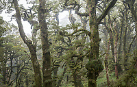 Soft mist swirls through beech trees cloaked in moss, goblin forest on Panekiri Bluff, Te Urewera, Hawke's Bay, North Island, New Zealand, NZ
