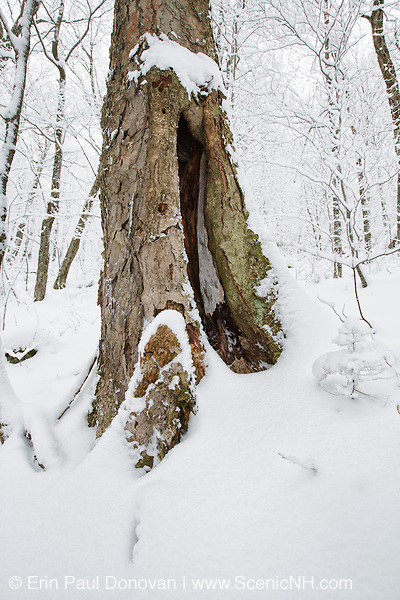Old Yellow Birch (Betula alleghaniensis) during the winter months at Lafayette Brook Scenic Area in the White Mountains, New Hampshire USA.