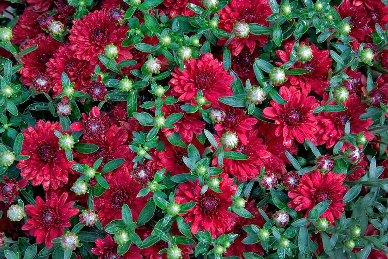 Chrysanthemums. Belgian Mum,'Camina'. Bauman Farms. Gervis, Oregon
