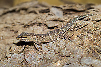 Madagascar Clawless Gecko (Lygodactylus tolampyae), Ifaty-Mangily, southern Madagascar, Madagascar, Africa