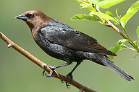 Male Brown-headed Cowbirds have glossy black plumage and a rich brown head that often looks black in poor lighting or at distance. Published National Wildlife calendar 2012.