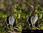 Anhinga Perched Posing in Bush American Darter Snakebird Anhinga anhinga Sanibel Island Florida Composite Image