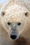 Portrait of a polar bear, Canada.