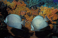 gray angelfish, Pomacanthus arcuatus, mated pair, and orange elephant ear sponge, Agelas clathrodes Bahamas, Caribbean (Western Atlantic Ocean)