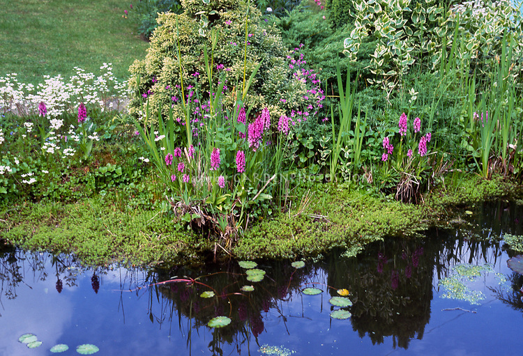 Dactylorhiza orchids planted at water's edge, pond