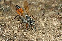 Heuschrecken-Sandwespe, Heuschreckensandwespe, Sphex funerarius, Sphex rufocinetus, Sphex rufocinctus, Sphex maxillosus, golden digger wasp, le sphex gryllivore, Sphecidae