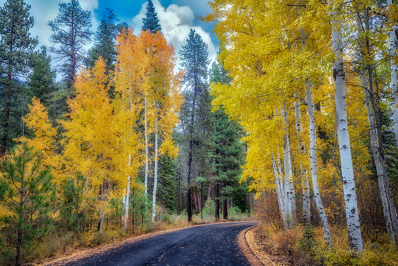 Aspen lined road in fall color. Black Butte Ranch, Oregon