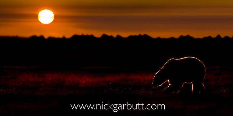 Adult Polar Bear (Ursus maritimus) at sunset. On tundra vegetation on shores of Hudson Bay, Canada (late Sept).