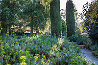 Cupressus sempervirens 'Glauca' (Blue Italian Cypress) trees with Euphorbia at Leaning Pine Arboretum, California garden