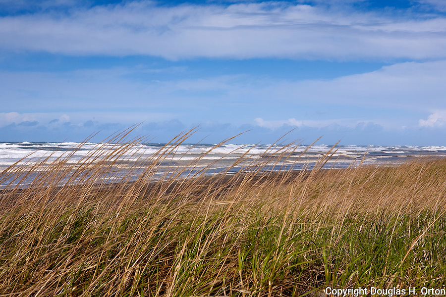 Sea Grass on sand dunes bends in high wind as storm driven surf crashes ashore.  Long Beach, WA.  Invasive species. Olympic Peninsula