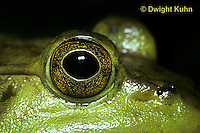 FR08-013c  Bullfrog - close up of eyes - Lithobates catesbeiana, formerly Rana catesbeiana