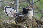 Ruffed grouse (Bonasa umbellus) in courtship display