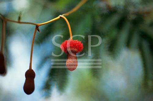 Amazon, Brazil. Pendant red flower - Parkia sp; Trombetas, Para State.