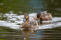 Pacific Black Duck (Anas superciliosa superciliosa) X Mallard (Anas platyrhynchos) hybrid, juveniles swimming in Queens Park, Invercargill, Southland, New Zealand.