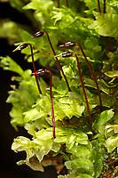 Glänzendes Flügelblattmoos, Hookeria lucens, shining hookeria