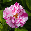 Rosa gallica 'Versicolor' (syn. Rosa mundi), early June. A small shrub of bushy, compact habit, with mid-green leaves and semi-double flowers to 7cm in width, blush-pink striped and spotted with crimson. Said to be named after Fair Rosamund, mistress of Henry II in the 12th century.