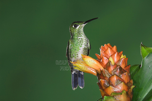 Green-crowned Brilliant, Heliodoxa jacula, female perched on Spiral Ginger (Costus Pulverulentus), Central Valley, Costa Rica, Central America
