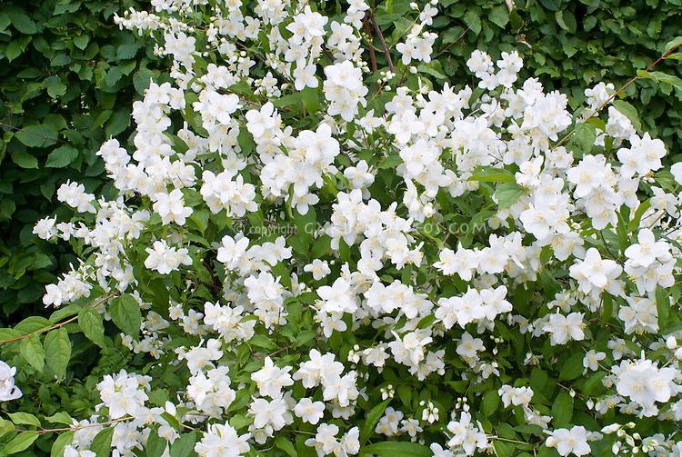 Philadelphus coronarius shrub in white spring fragrant bloom