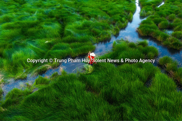 """Pictured: Farmers wade through waist-deep water and lush green grass as they harvest their crop.   The workers walk just over a mile through the grass to collect their water chestnuts.<br /> <br /> To transport the nuts back from the site in Quang Nam Province, Vietnam, the farmers use baskets of small wooden boats.   Photographer Trung Pham Huy, 42, from Ho Chi Minh city, Vietnam, said: """"The workers are very familiar with the area so do not get lost.   SEE OUR COPY FOR DETAILS<br /> <br /> Please byline: Trung Pham Huy/Solent News<br /> <br /> © Trung Pham Huy/Solent News & Photo Agency<br /> UK +44 (0) 2380 458800"""