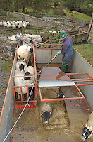 Dipping Scottish Blackface sheep in a mobile dipper, Whitewell, Clitheroe, Lancashire.